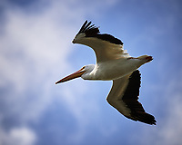 American White Pelican in flight. Biolab Road, Merritt Island National Wildlife Refuge. Image taken with a Nikon Df camera and 300 mm f/4 lens (ISO 100, 300 mm, f/4, 1/2000 sec).