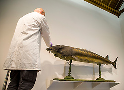 Curator at the McManus Gallery & Museum Mike Sedakat gives a final clean to the newly restored Sea Sturgeon as it goes back on display in Dundee. The fish was caught over 100 years ago and is one of the largest ever caught in the UK.<br /> <br /> © Dave Johnston/ EEm