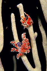 a pair of cryptic teardrop crabs, Pelia mutica, on octocoral, feeding on plankton at night, Key Largo, Florida Keys National Marine Sanctuary, Atlantic Ocean