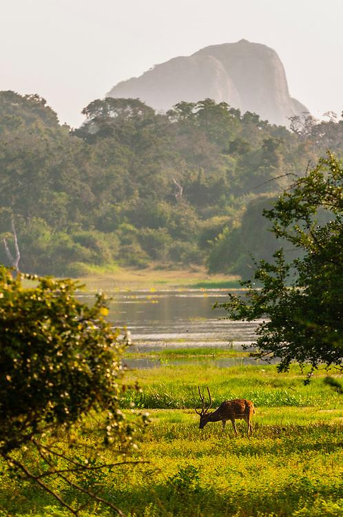 Spotted deer, Yala National Park, Southern Province, Sri Lanka.