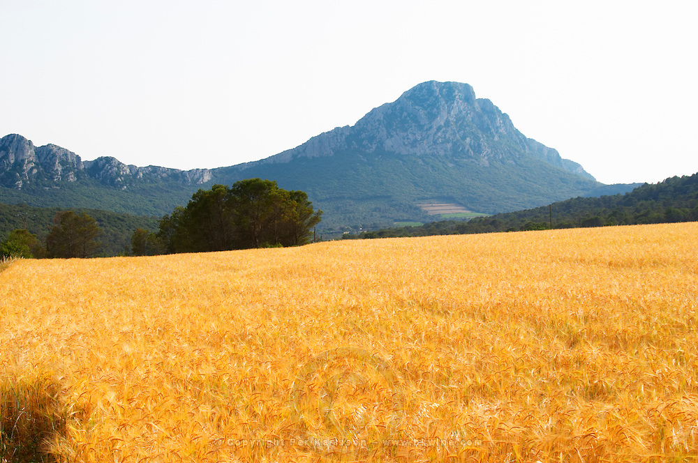The Pic St Loup mountain top peak. Pic St Loup. Languedoc. A wheat field in the foreground. France. Europe.