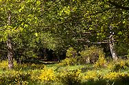 Europa, Deutschland, Nordrhein-Westfalen, Troisdorf, die Wahner Heide, bluehender Ginster. - <br /> <br /> Europe, Germany, Troisdorf, North Rhine-Westphalia, in the Wahner Heath, blooming genista.