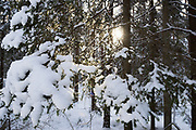 Sun shines through some snow covered spruce (Picea abies) branches on winter day in forests, Kemeri National Park (Ķemeru Nacionālais parks), Latvia Ⓒ Davis Ulands | davisulands.com