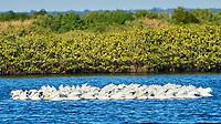 American White Pelican (Pelecanus erythrorhynchos). Black Point Wildlife Drive. Merritt Island National Wildlife Refuge. Image taken with a Nikon D3 camera and 70-200 mm f/2.8 VR lens.