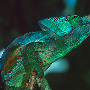 Madagascar is home to about half the world's chameleons, including both subfamilies, typical chameleons and dwarf chameleons (Brookesiinae). Chameleons are small to mid-size reptiles that are famous for their ability to dramatically change colours. Contrary to popular belief, they do not change colours to match their surroundings. Instead colour is usually used to convey emotions, defend territories, and communicate with mates. They have two layers of specialized cells that lie just beneath the lizard's transparent outer skin. The cells in the upper layer, called chromatophores, contain yellow and red pigments. Below them is another layer of cells called guanophores, containing the colourless crystalline substance guanin, which reflect the blue part of incidental light. If the upper layer of chromatophores is yellow, the reflected light becomes green (blue plus yellow). A layer of dark melanin containing melanophores is situated under the blue and white light-reflecting guanophores. These melanophores influence the lightness of the reflected light. All these different pigment cells can relocate their pigment, thereby influencing the colour of the light that is reflected.<br />
