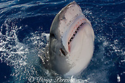 tiger shark ( Galeocerdo cuvier ) lunging for bait, with parasitic leech, Stibarobdella macrothela, attached to right side of head, North Shore, Oahu, Hawaii, USA ( Central Pacific Ocean ) (dm)