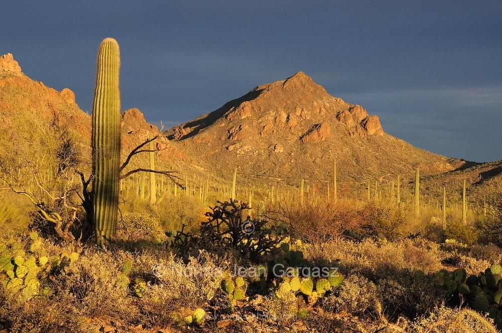 Saguaro Cactus (Carnegiea gigantea) stand in Tucson Mountain Park in the Sonoran Desert in Tucson, Arizona, USA.