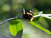 Red admiral butterfly (Vanessa atalanta) backlight by sun, Kent UK