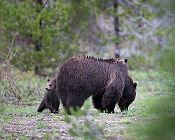 Alert Grizzly Bear Cub and mom in Grand Teton National Park