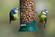 Blue Tit, Parus caeruleus. Two birds on feeder, eating nuts. Garden South East England.