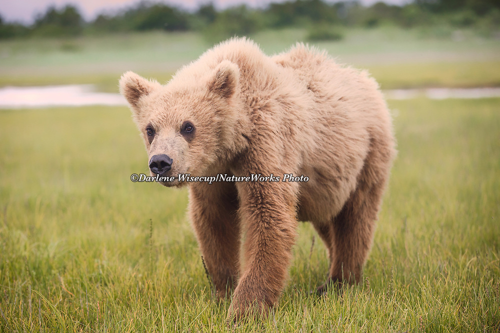 A yearling brown bear (Ursus arctos) cub explores the area in Katmai National Park