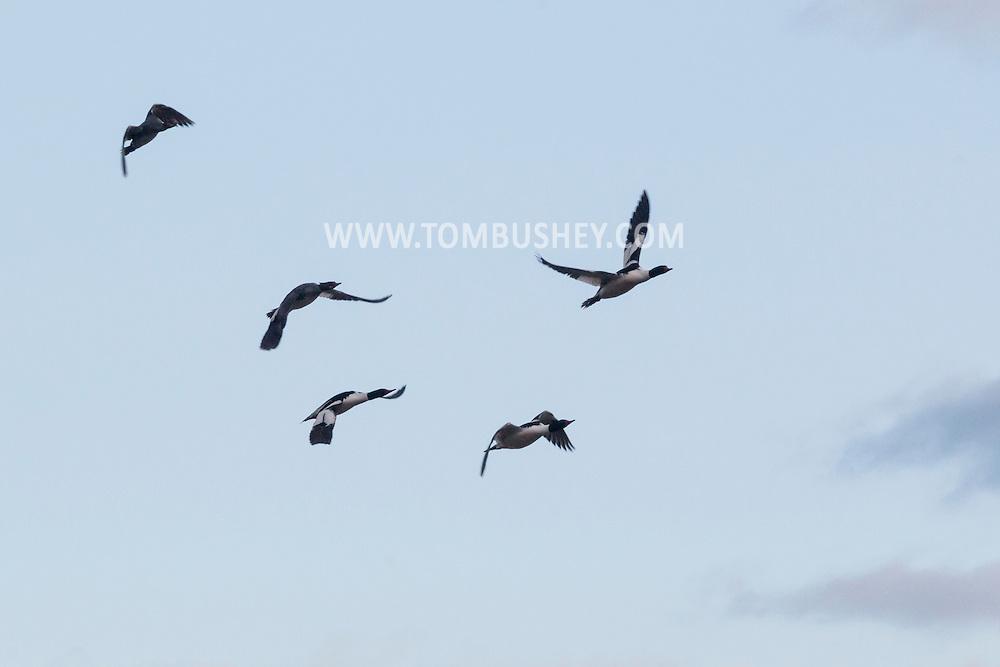 Middletown, New York - Birds fly over the lake at Fancher-Davidge Park on April 23, 2015.