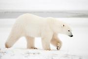 Adult polar bear walking on snow waiting for Hudson Bay to freeze near Churchill  Ursus maritimus, Hudson Bay, Canada