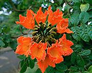 African Tulip, Hawaii, USA<br />