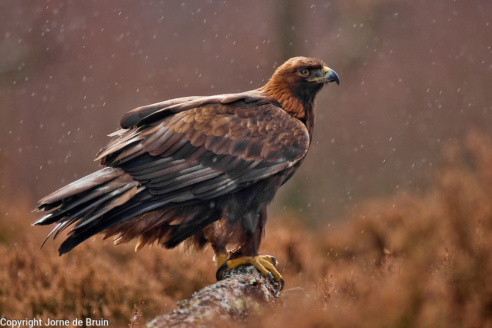 A Golden Eagle is sitting in the heather while it's raining in the Cairngorms National Park in the Scottish Highlands