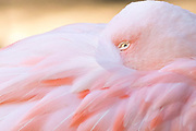 The questioning eye of a Chilean flamingo (Phoenicopterus chilensis) peers out from its tucked resting pose at the LA Zoo in California.<br /> Found in South America from Ecuador to Chile and eastward into Brazil, the Chilean flamingo lives in coastal mudflats, estuaries, lagoons and salt lakes. Primarily feeding on algae, plankton, and brine shrimp, it uses comb-like structures in its bill to filter food from the waters of its habitat.<br /> The flamingo's pink color is derived from the rich sources of carotenoid pigments in the algae and small crustaceans that the birds eat.