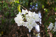 Pure White flowers of a Bougainvillea bush