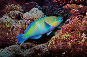 rusty parrotfish, Scarus ferrugineus, in coral reef, Red Sea, Egypt