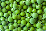 Fresh shelled peas from a Fraser Valley organic vegetable garden in British Columbia, Canada