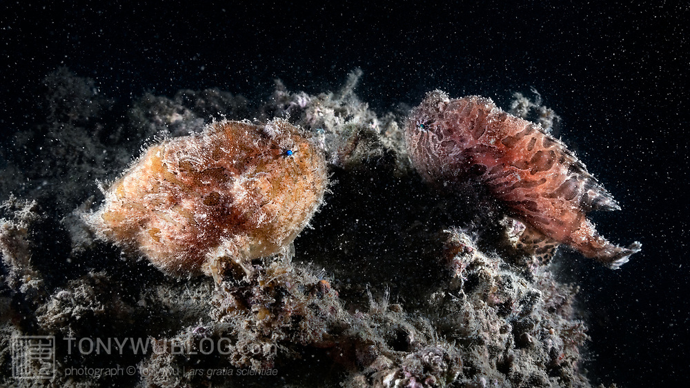 This is a pair of hairy frogfish (Antennarius striatus) photographed about 22 hours prior to spawning. The yellow-orange fish on the left is the female. Her abdomen is swollen with eggs. The male is positioned near the female. He will stay with her until she is ready, In prepration for spawning, the female will grow to about double her normal size. In order to spawn, the male will need to push the enlarged female up into the water column, where she releases a raft of eggs that he fertilizes.