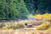 We immediately set out looking for wildlife, and saw this bull elk running through the forest.