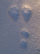 Unidentified animal tracks on the Estes Lake trail