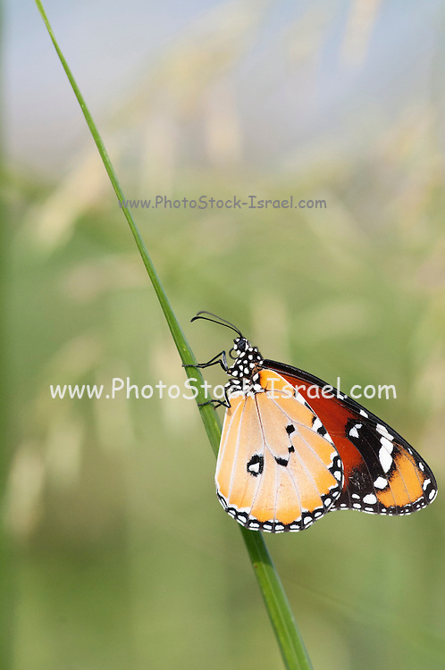 Close up of a Plain Tiger (Danaus chrysippus) AKA African Monarch Butterfly shot in Israel, August