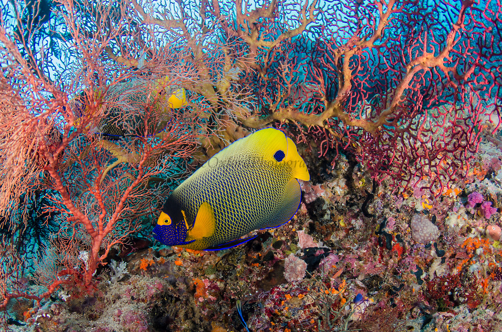 Yellow-mask Angelfish (Pomacanthus xanthometopon)<br /> Raja Ampat<br /> West Papua<br /> Indonesia