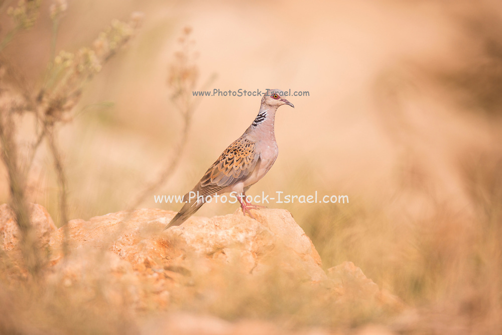 Turtle Dove (or European turtle dove) (Streptopelia turtur) on a rock Photographed in Israel in August