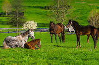 Thoroughbred horses in pasture, Winstar Farm, Versailles (Lexington), Kentucky USA.