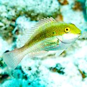 Greenblotch Parrotfish inhabit mid-range to deep reefs, often along steep, sloping drop-offs in Tropical West Atlantic; picture taken San Salvador, Bahamas.