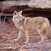 Coyote, (Canis latrans) Adult in canyonlands of Utah.  Captive Animal.