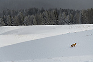 A red fox pauses during a hunt in Yellowstone's Hayden Valley