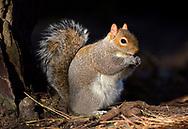 Grey Squirrel - Sciurus carolinensis