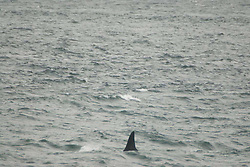 Orca Whale (Orcinus orca) from Lime Kiln State Park,  San Juan Island, Washington, US