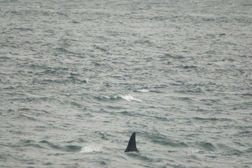 Orca Whale (Orcinus orca) from Lime Kiln State Park,  San Juan Island, Washington, US