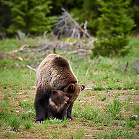 Just over a week ago, on Monday morning on June 17, I had the incredible opportunity to spend almost an hour with grizzly 863, also known as Felicia, and her COY. I followed them for over 2 miles as they kept on crossing the road near Togwotee Pass outside Grand Teton National Park until they eventually safely disappeared into the woods.<br /> <br /> Unfortunately these photos may be the last photos of them together 😢 <br /> <br /> The next night I ran across a photographer friend in the Tetons who told me 863 and her cub had become separated. Reports in the Jackson Hole Daily were implying that she was struck by a car. In the last couple days I have been seeing current photos online of both 863 and her cub, but they apparently are not still together and have remained separated by a couple miles. No one knows yet if 863 has for some reason abandoned her cub or what, but for now both appear relatively healthy and surviving on their own.<br /> <br /> Mother Nature sure works in mysterious ways sometimes.