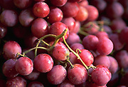 Close up selective focus photograph of Red Globe Grapes bunches in the sunlight