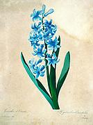 19th-century hand painted Engraving illustration of a Hyacinthus orientalis (common hyacinth) flower, by Pierre-Joseph Redoute. Published in Choix Des Plus Belles Fleurs, Paris (1827). by Redouté, Pierre Joseph, 1759-1840.; Chapuis, Jean Baptiste.; Ernest Panckoucke.; Langois, Dr.; Bessin, R.; Victor, fl. ca. 1820-1850.