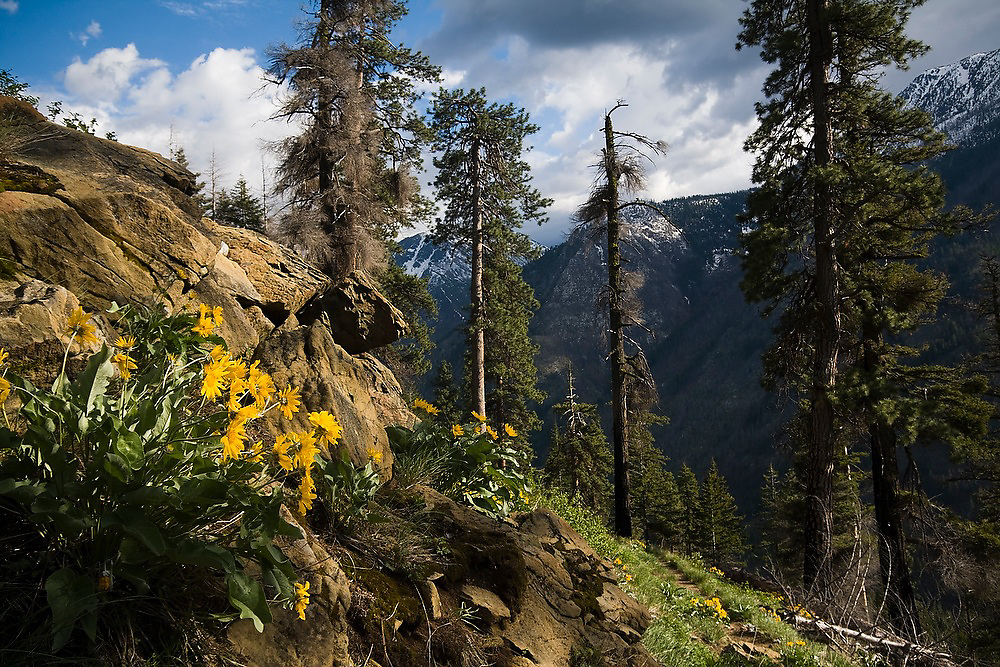 Arrowleaf balsamroot (Balsamorhiza sagittata) flowers on Icicle Ridge in the Alpine Lakes Wilderness, Washington.