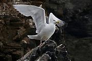 Glaucous gull (Larus hyperboreus) from Spitsbergen, Svalbard, Norway.