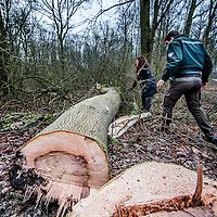 Nederland, Amstelveen, 17 januari 2017.<br />Boswachter Abe onderzoekt samen met een collega in de Amsterdamse bos, essen die beschimmeld zijn.<br />Op de foto is goed zichtbaar hoe bij doorsnede vd boom de binnenkant beschimmeld is.<br />VOORKEURFOTO!<br /><br /><br />Foto: Jean-Pierre Jans