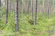 Pine Forest, Hiidenportti National Park, Finland, in Sotkamo in the Kainuu region