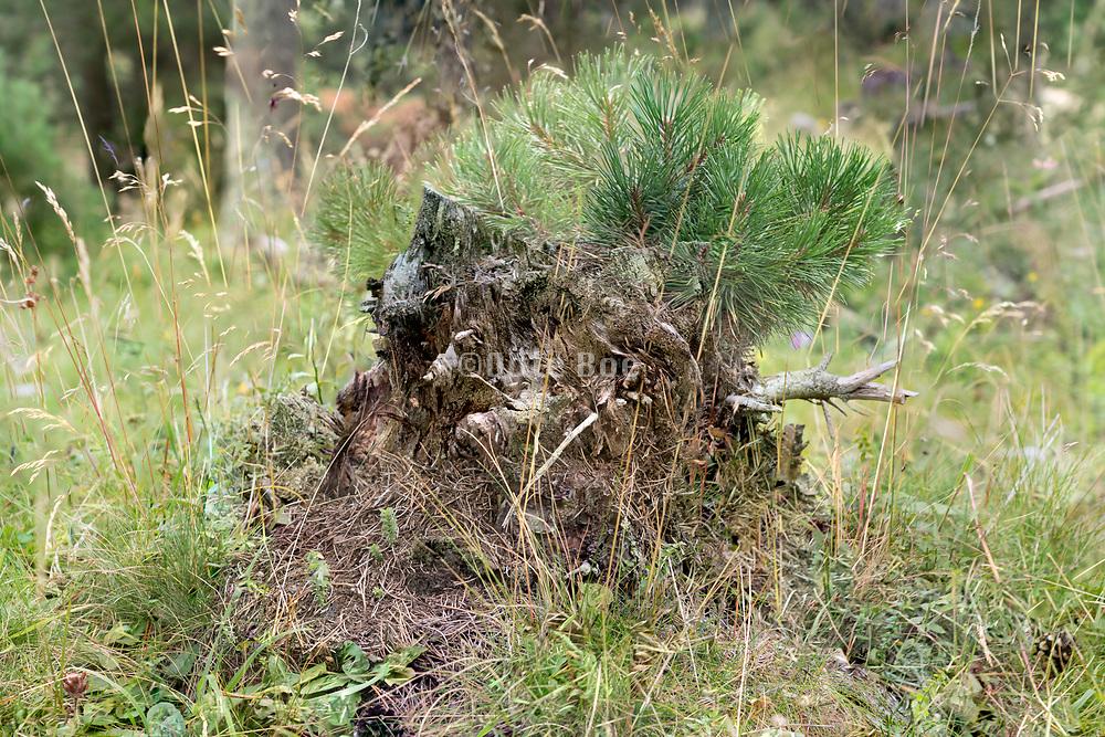 fresh pine tree twigs growing on top of a rotting tree stump