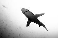 Carcharhinus brachyurus (Bronze Whaler Shark)
