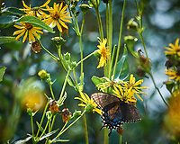Black Swallowtail Butterfly. Prairie Wildflowers and Butterflies at an Interstate Rest Area in Iowa. Images taken with a Nikon D3x camera and 80-400 mm VR lens