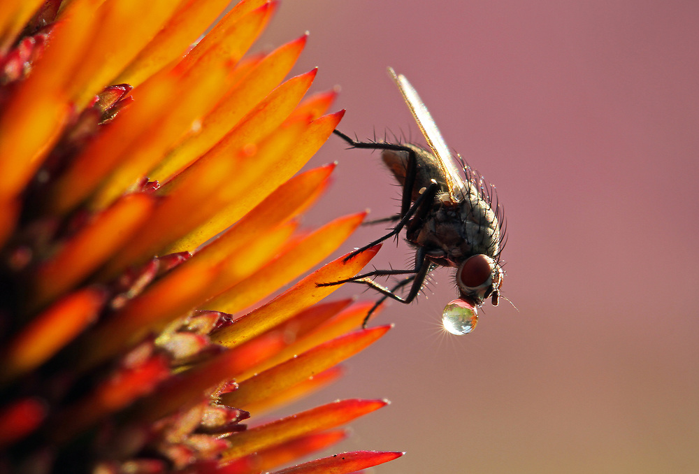 In 2018, this macro photography image of a water drinking black fly was awarded Honorable Mention in the 2017 National Wildlife Magazine Photo Contest from over 25,000 nature photography pictures from around the world. <br /> <br /> This black fly macro photo was captured in the wild at Mass Audubon Broad Meadow Brook Conservation Center and Wildlife Sanctuary in Worcester, MA. I love the butterfly garden in front of the main building and entrance. I always scan the garden for little creature and my patience paid off that day when I spotted this black fly resting on a coneflower. Nice contrast of colors I thought and started exploring the subject when I noticed that the fly had a water bubble attached to its mouth. I figured it was using the water drop as a source for drinking and staying hydrated. Luckily, the fly was so busy sipping the liquid that it did not bother me moving in closer and closer. In manual focus I was able to precisely nail the focus on the head of the insect and water droplet ensuring a crisp, high quality close-up photograph. It even got better when I studied the droplet reflection and noticed it had some of the surrounding flowers and sky in it; the sun streams bouncing off the bubble were the icing on the cake. <br /> <br /> Insect macro photos are available as museum quality photo prints, canvas prints, wood prints, acrylic prints or metal prints. Fine art prints may be framed and matted to the individual liking and decorating needs:<br /> <br /> https://juergen-roth.pixels.com/featured/water-drunk-juergen-roth.html<br /> <br /> All digital photo images are available for photography image licensing at www.RothGalleries.com. Please contact me direct with any questions or request.<br /> <br /> Good light and happy photo making!<br /> <br /> My best,<br /> <br /> Juergen<br /> Prints: http://www.rothgalleries.com<br /> Photo Blog: http://whereintheworldisjuergen.blogspot.com<br /> Instagram: https://www.instagram.com/rothgalleries<br /> Twitter
