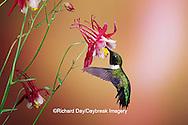 01162-07115 Ruby-throated Hummingbird (Archilochus colubris) male on Crimson Star Columbine (Aquilegia x hybrida) IL