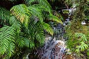 LFern fronds, stream. ake Matheson Walking Tracks, near Fox Glacier, Westland Tai Poutini National Park, West Coast of South Island, NEW ZEALAND. In 1990, UNESCO honored Te Wahipounamu - South West New Zealand as a World Heritage Area.