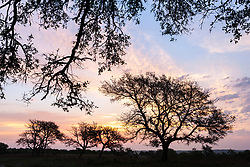 Sunrise with pastel sky and oak tree silhouettes, Hill Country between Blanco and Fredericksburg, Texas, USA